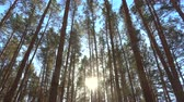 High pines trees in forest on wind at beautiful day, sun through trees. Pine forest 4k. Filmati Stock