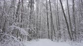 Beautiful winter forest, falling snow in wild winter forest, 4k pro res.