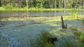 болото : Beautiful forest lake and grass, small waves on water surface.