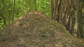 mrówka : Big anthill in forest at sunny day, nature.