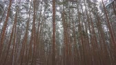 weihnachten zweig : Looped video, snowfall in beautiful pine winter forest. Stock Footage