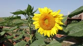 vibrante : Sunflower