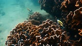 deniz yaşamı : Underwater footage of fish by coral reef in Andaman Sea, Thailand