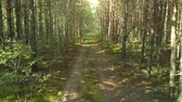 береза : Country road through forest