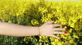 blooming : Beautiful woman walking in a rapeseed field, softly touching the rapeseed flowers