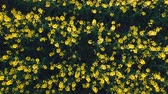 arka plân : Aerial view of beautiful rapeseed field
