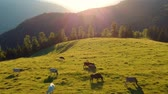 сельскохозяйственный : Summer view of the meadow, at sunset. Summer countryside scene with grazing cows. Agricultural scene Стоковые видеозаписи