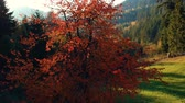 Autumn view of a beautiful colorful tree Vidéos Libres De Droits