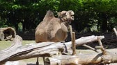 rágás : camel in zoo, expressive herbivorous animal shows his jaws with huge teeth Stock mozgókép