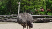 besta : funny ostrich with big eyes and long neck stand in a zoo on a sunny day at summer in slow motion Stock Footage