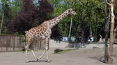 giraf : giraffe loopt en kauwt in de openlucht dierentuin in slow motion Stockvideo