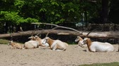 boynuzlu : horned oryx relaxing on the ground in the zoo on a sunny day at summer