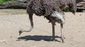 struś : ostrich with a long neck looking for food on the ground inside the zoo on a sunny day in summer