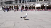marco : Venice, Italy 19 May 2018: Gulls and pigeons are walking around Piazza San Marco in Venice, 19 May 2018.