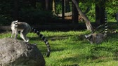 gramíneo : animal protection, Lemurs are played on green lawn in zoo outdoors