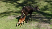 gramíneo : animal world, small roe runs after goat on green grass at protected area in spring