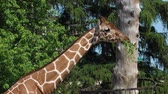 jardim zoológico : zoo, giraffes eat hay in zoological garden on open air close-up Stock Footage