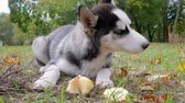 yellow dog : dog husky with beautiful eyes eats an apple on a meadow with yellow leaves outdoors in park in autumn Stock Footage