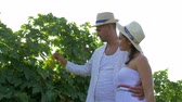 vinná réva : vineyard, couple is harvesting crops with straw basket in hand and walking on field in sunlight