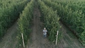 elevação : farmer raises a glass of apple drink in garden, drone view over neat rows of green fruit trees