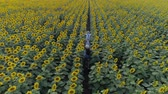 helianthus : enjoying freedom, aerial shooting from drone of children walking along meadow with sunflowers