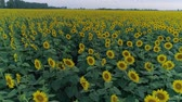 helianthus : landscape of beautiful field of sunflowers, drone view over yellow flowering plants