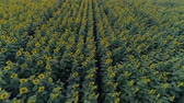 helianthus : rows of sunflowers, flight over a field with yellow flowering plants in slow motion