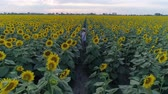helianthus : summer holiday, teenager enjoys of amazing view of a plantations with sunflowers and runs between rows of flowering plants