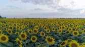helianthus : sunflower field, drone view over yellow flowering plants on background of beautiful sky