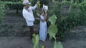 vinařství : vineyard, aerial view on young man and woman farmers together in straw hats looks at bunch of grapes