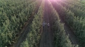 paralelo : gardening, mother and father with little boy on shoulders walk between even rows of trees and harvest in apple orchard in aerial view