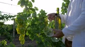 vinificação : wine production, sommelier opens bottle grape drink and pours in glass on vineyard in bright sunlight close-up