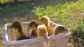 pato : farm animals, cute ducklings sitting in basket on nature closeup