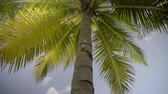maledivy : green tropical palm close up against sky in sunlight