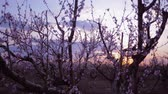 абрикос : blooming garden, beautiful apricot trees in bloom at sunset against pink sky Стоковые видеозаписи