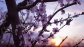 абрикос : spring garden, beautiful gentle pink flowers on tree fruit apricot close-up in the orchard On the Sunset Стоковые видеозаписи