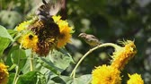 aletsiz : sparrows eating sunflower seeds
