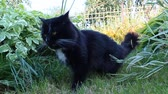 male animal : black cat with white tie chewing blades  in the grass