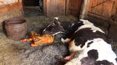 cow birth : cow licking clean its just newborn red calf