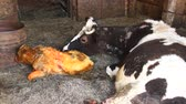cow birth : mother cow carefully looking after its just newborn calf