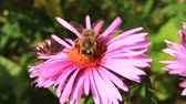 smell : bee sitting on the asters