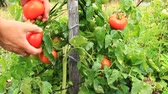 уксус : harvesting of beautiful red tomatoes hanging on the branch in the garden