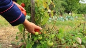 уксус : harvesting red tomatoes in the bush Стоковые видеозаписи