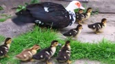 domesticado : Muscovy duck hen with amusing ducklings going on the grass in the poultry