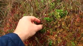 cowberry : berry-picker gathers red berries of cowberry in the forest
