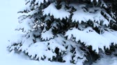 coldness : Fur-tree branch covered with snow. Christmas tree in snow in winter forest. Fairy-tale beautiful tree covered with snow in forest Stock Footage