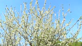 ameixa : Blooming plum tree, plum-tree branch covered with white flowers and foliage on blue background. Blossoming tree of plum on background of blue sky. Branches of blossoming plum tree Stock Footage