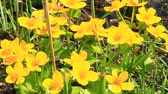 brushwood : Caltha palustris growing in swamp. Spring flowers. Marsh Marigold flowers. Yellow flowers of Marsh Marigold. Flowering gold color plants in early spring by river during flooding