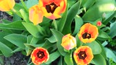 soğanlı : Yellow and red tulips on flower bed in April. Red and yellow tulips planted in garden. Springtime garden. Colorful tulips in flower bed. Beautiful spring flower tulips in garden Stok Video