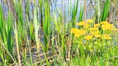 brushwood : Caltha palustris growing in water of swamp. Spring flowers. Marsh Marigold flowers. Yellow flowers of Marsh Marigold. Flowering gold color plants in early spring by river during flooding